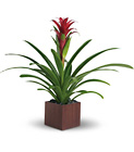 Teleflora's Bromeliad Beauty from Boulevard Florist Wholesale Market